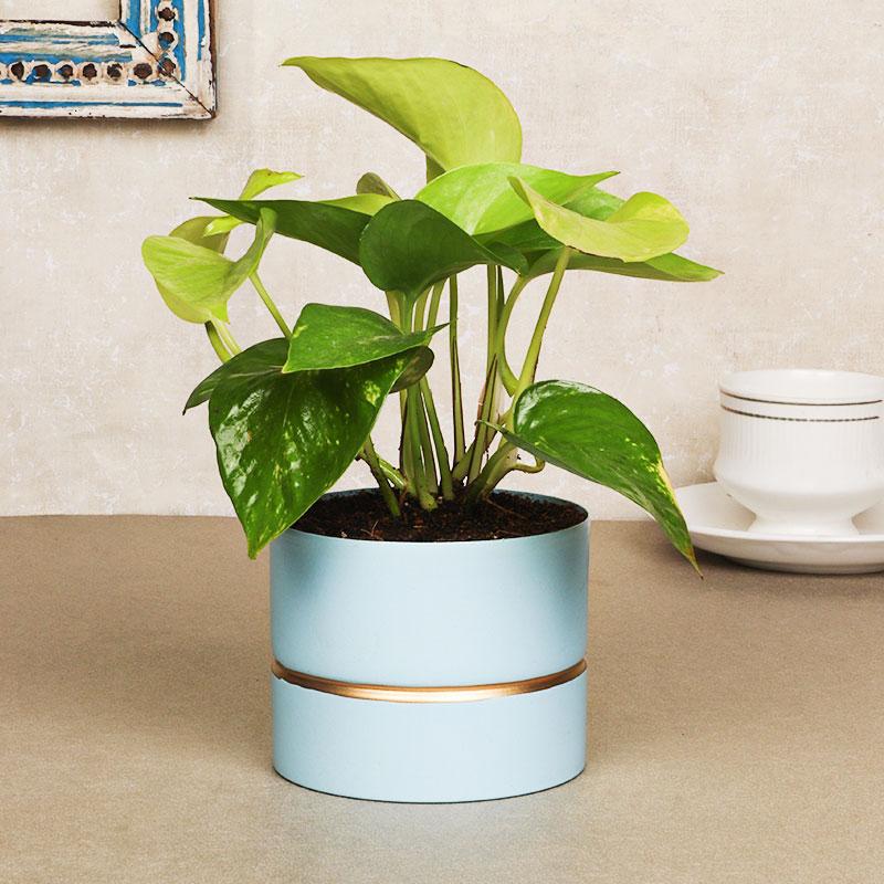 Money Blue Vase Plant
