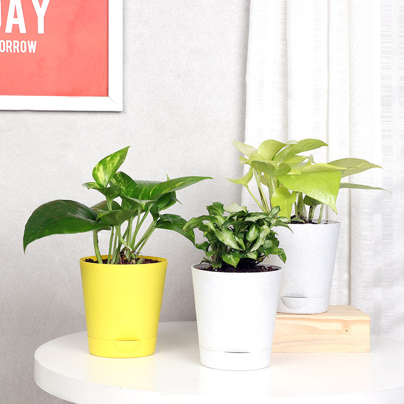 Money Plant And Syngonium Combo