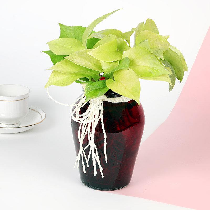 Money Plant In Matki Vase