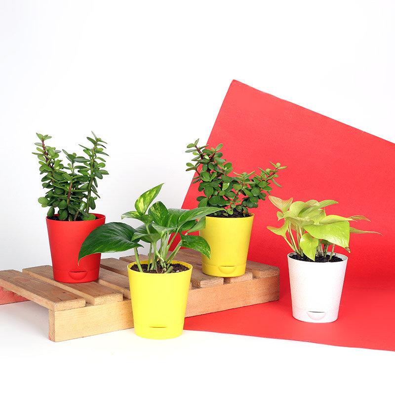 Money Plant N Jade Combo