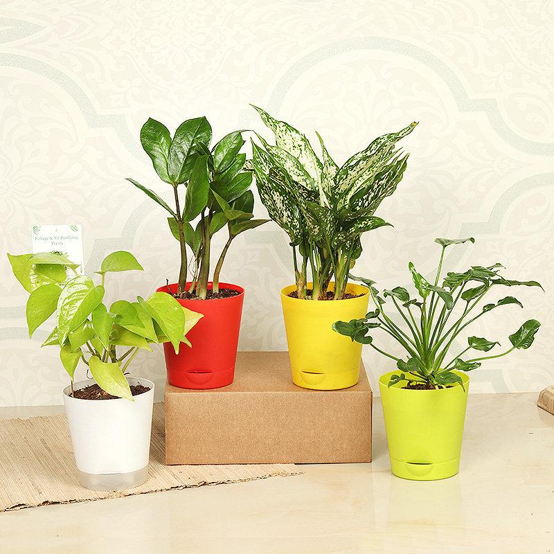 Money Zamia Aglaonema Plant Combo
