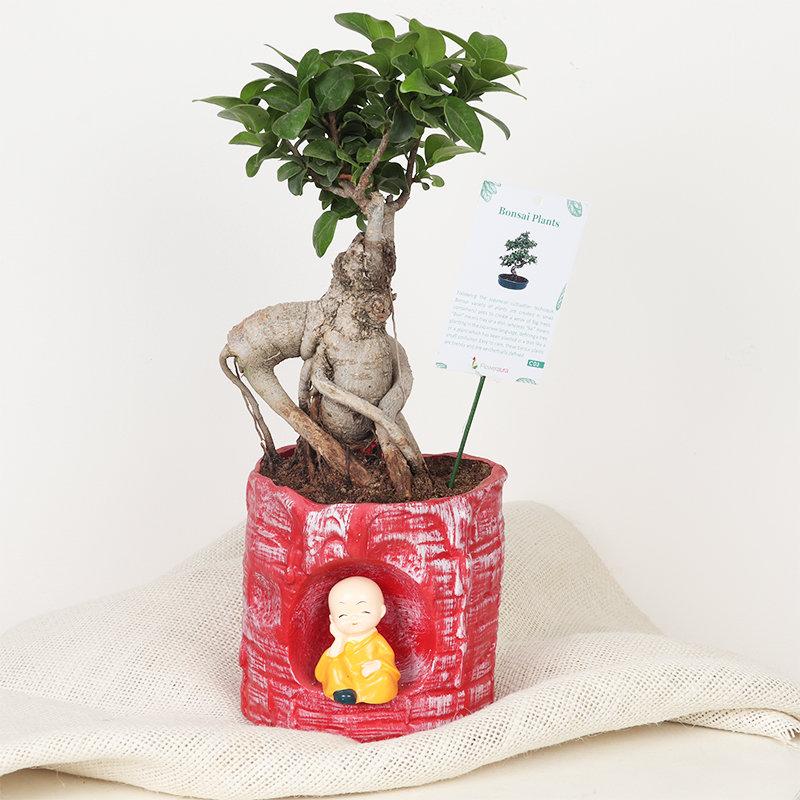 Monk Ficus Microcarpa Bonsai : Bonsai