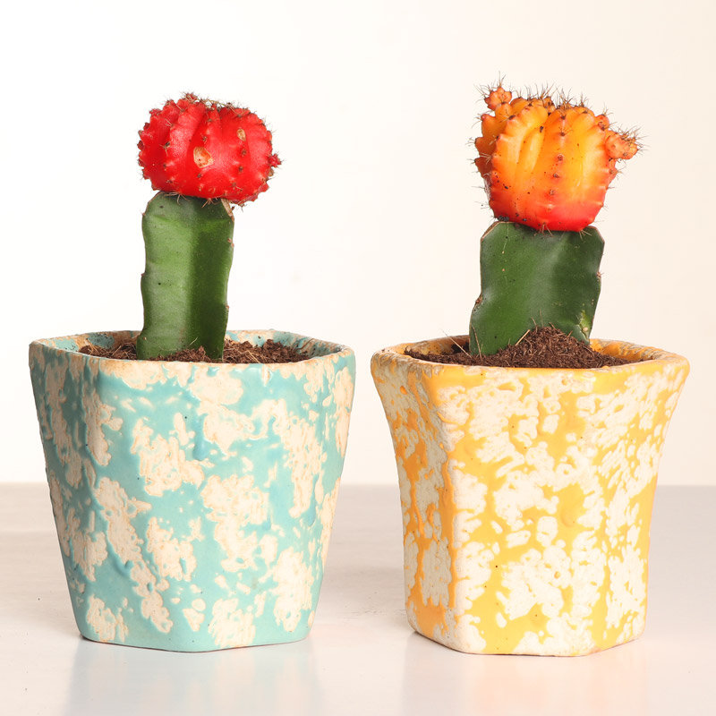 Orange and Red Moon Cactus Plant Duo