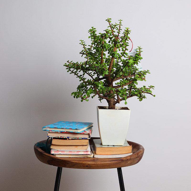 Motherly Jade Bonsai Plant