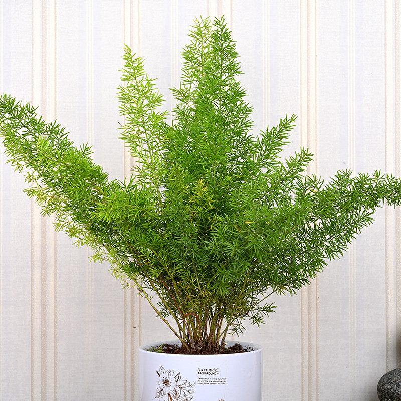 Myers Fern Plant