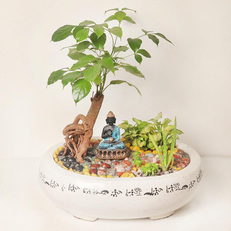 Radermachera and Aloe vera Dish Garden Plant