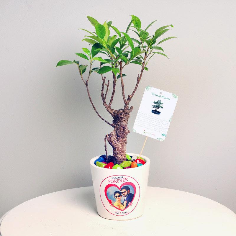 Noble Nostalgia Ficus Plant