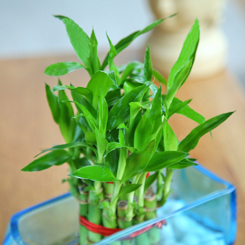 Online Plant - One Lucky Bamboo Bunch