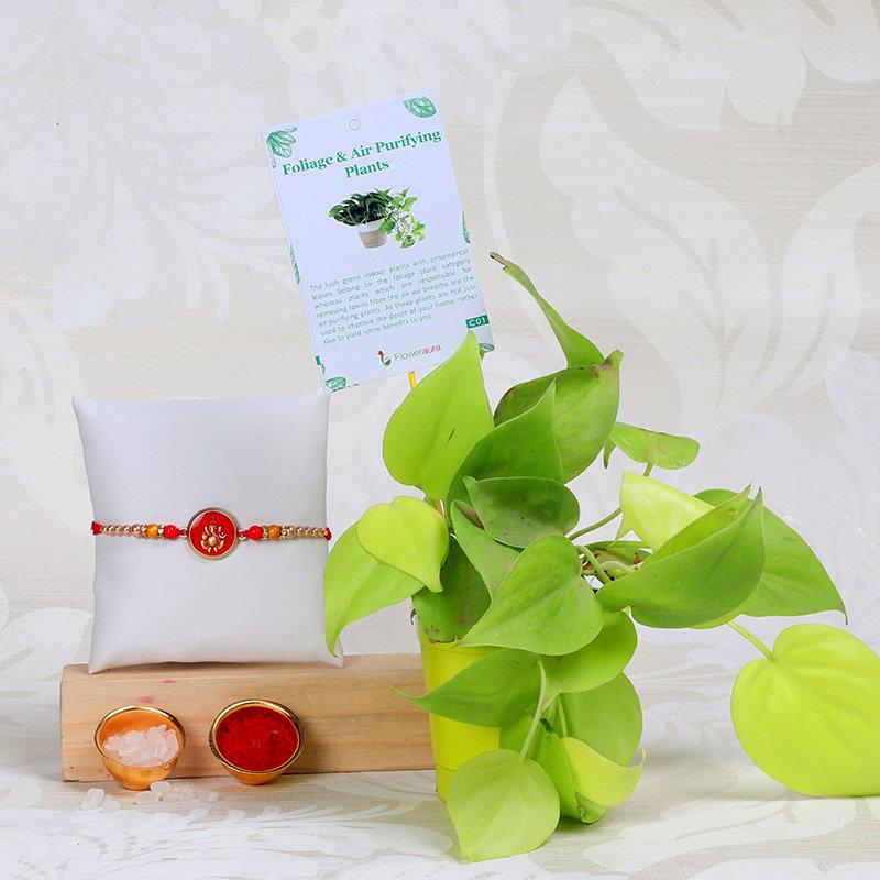 Oxycardium Plant With Ganpati Rakhi - One Divine Rakhi with Foliage Plant in Round Nursery Vase