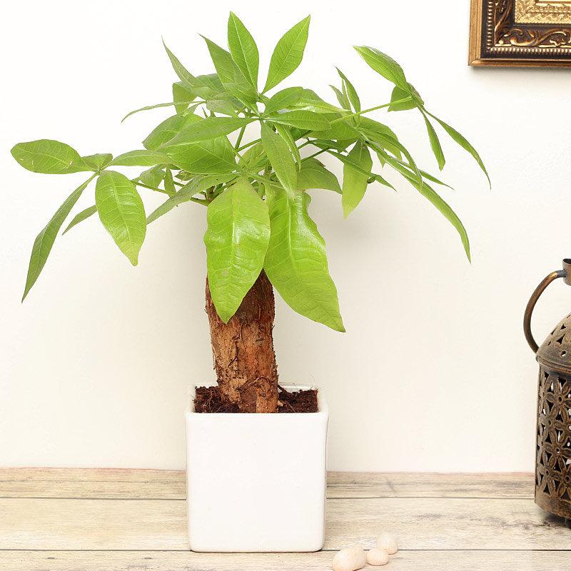 Pachira Bonsai Plant