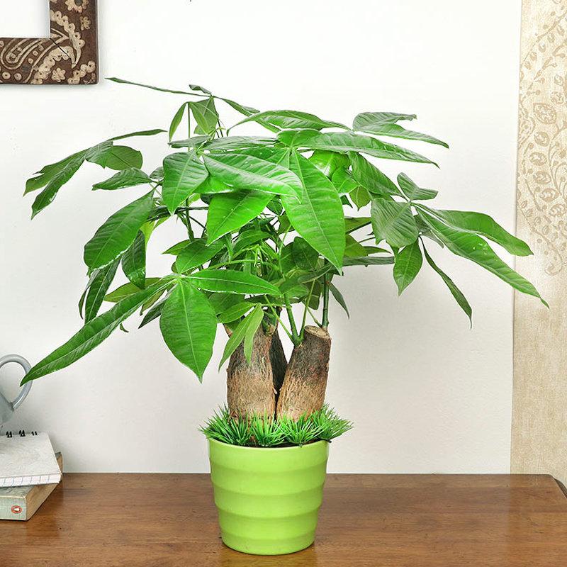 Send Pachira Money Tree Plant Online, Price Rs.1299 | FlowerAura