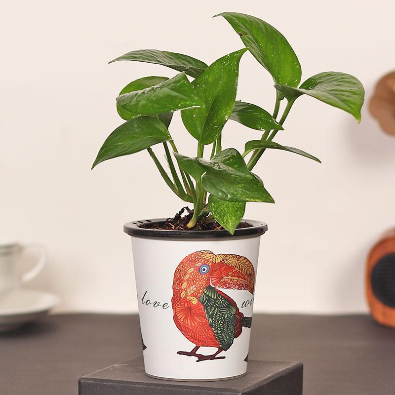 Parrot Money Plant