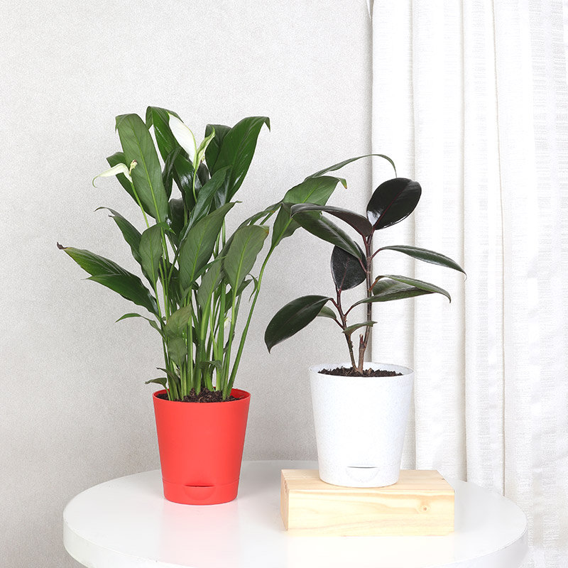 Peace Lily And Rubber Plant Combo