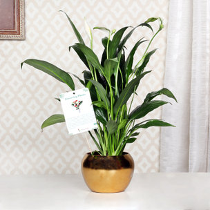 Peace Lily Golden Touch
