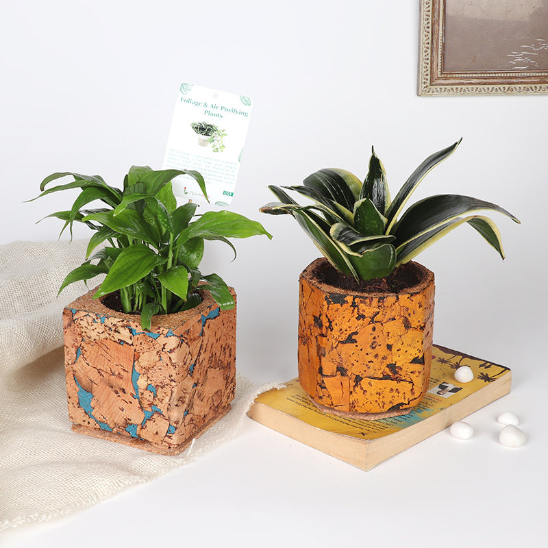 Peace Lily N Sansevieria Combo: Air Purifying