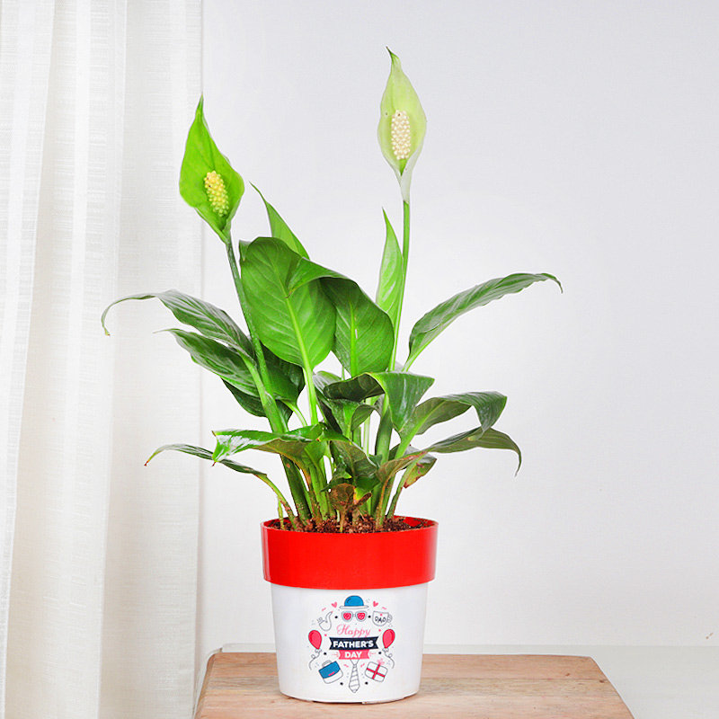 Peace Lily Plant For Father