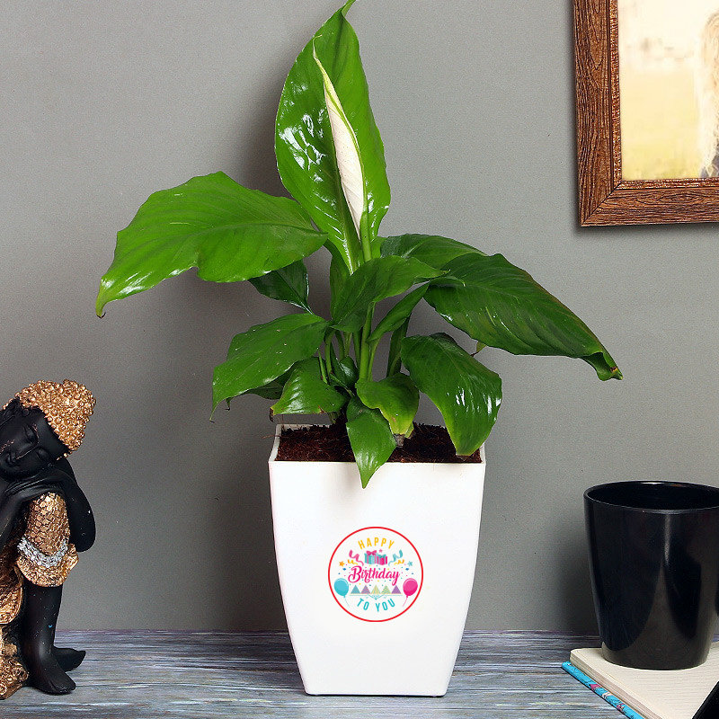 Peace Lily Special Bday - Flowering Plant Indoors in Floweraura Chatura Vase