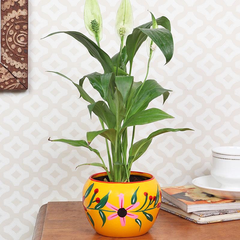 Peacelily Plant