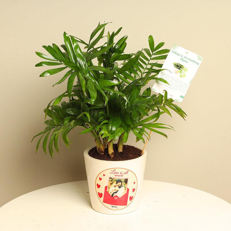 Chamaedorea Plant With Personalised Vase