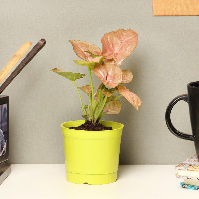 Pink Syngonium Plant in a Vase