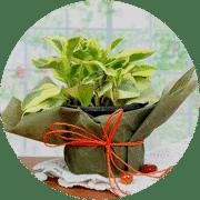 Plant Gift for Christmas
