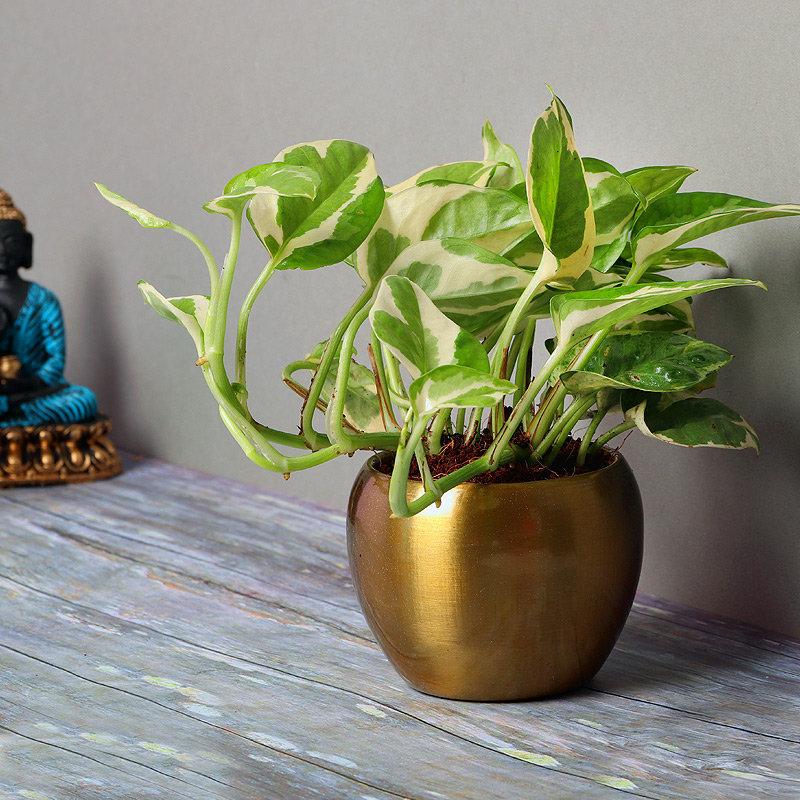 White Pothos Plant in Copper Colored Vase