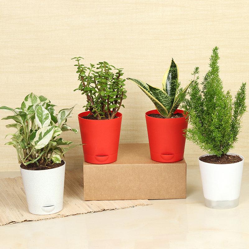 Pothos Snake Jade Plant Trio