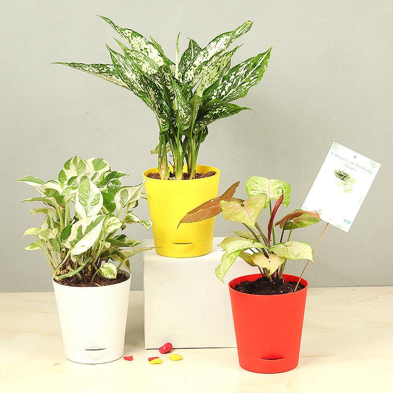Pothos Syngonium Aglaonema Plants