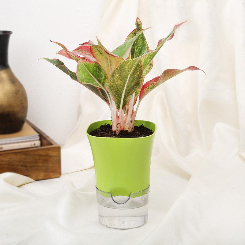 Potted Agloenema Pink Plant