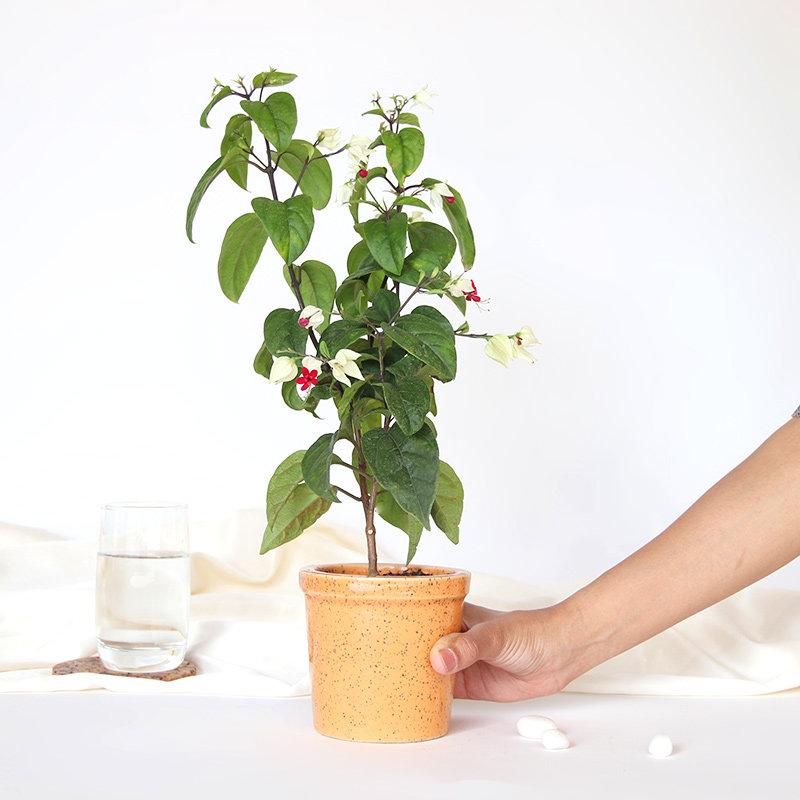 Potted Bleeding Heart Plant: Flowering