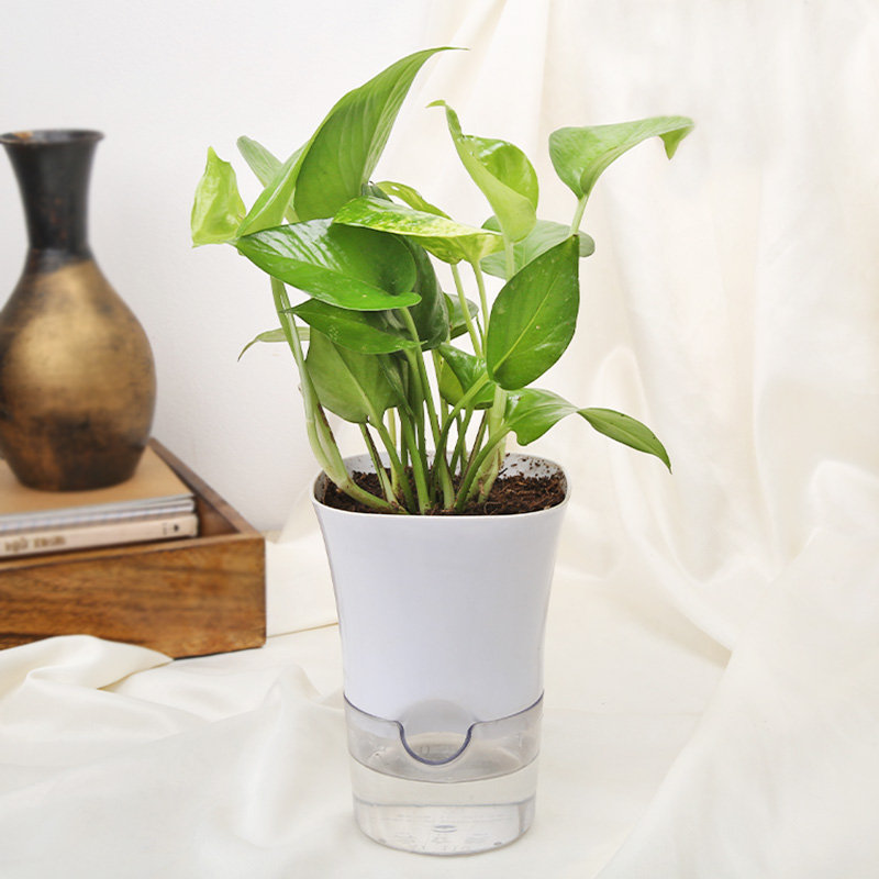 Potted Green Money Plant