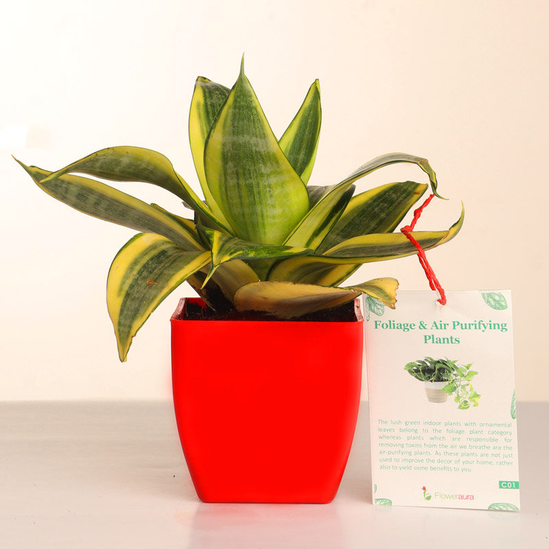 Potted Sansevieria Plant Gift