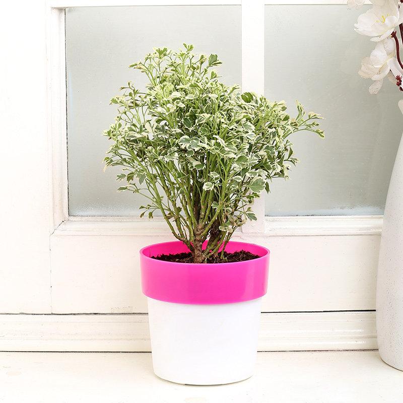 Pretty In Pink Aralia Plant