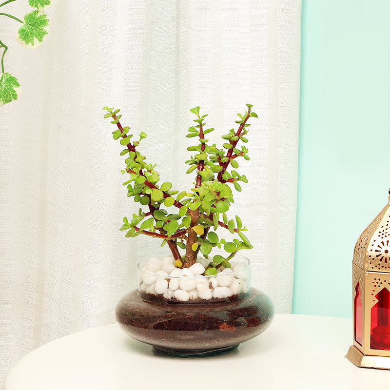 Jade Plant in a Glass Vase