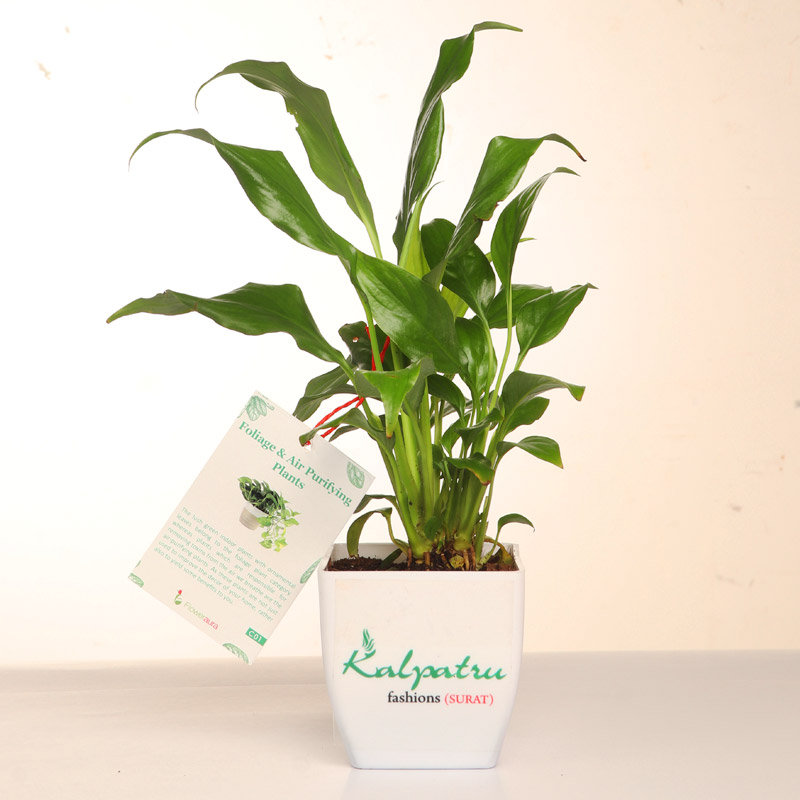 Peace lily Plant With Vase