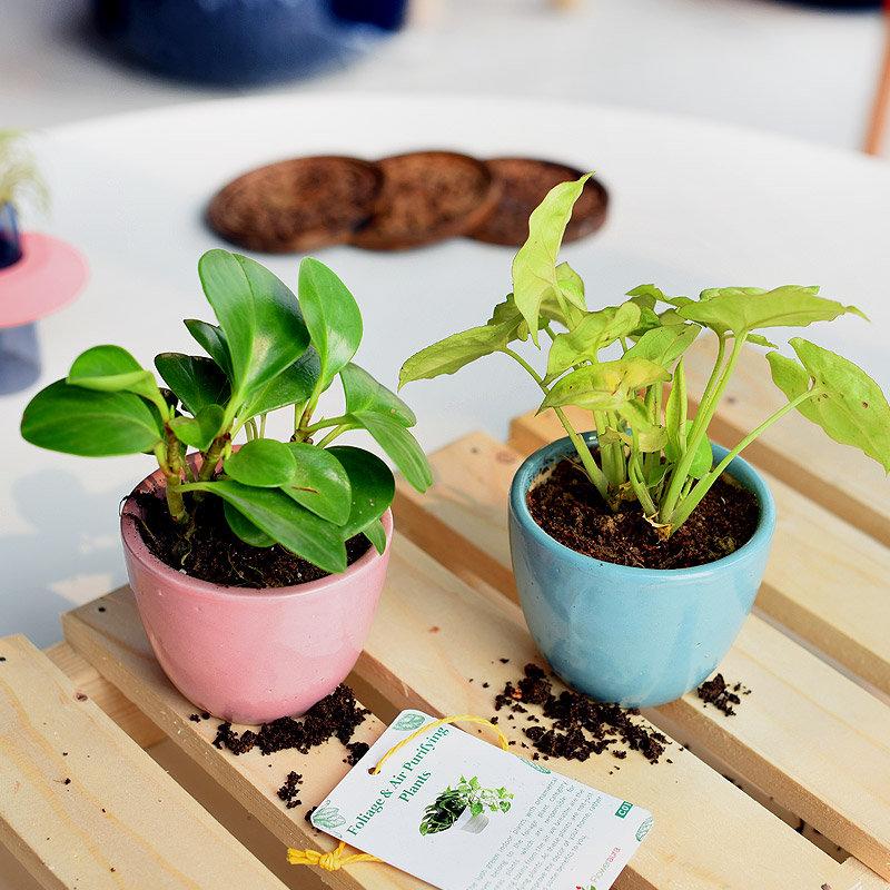Peperomia and Xanadu Plant Combo