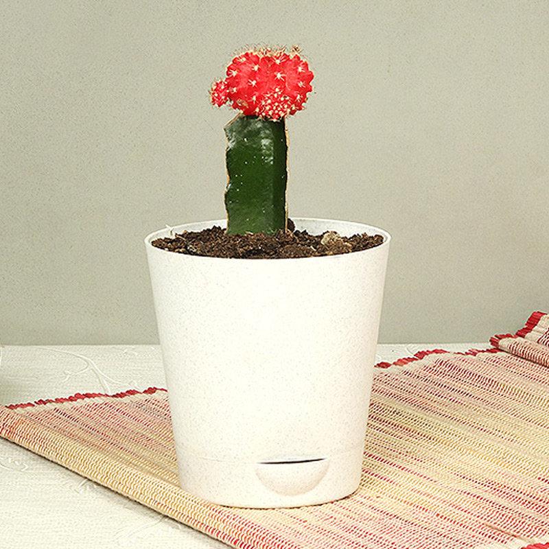 Ravishing Red Moon Cactus