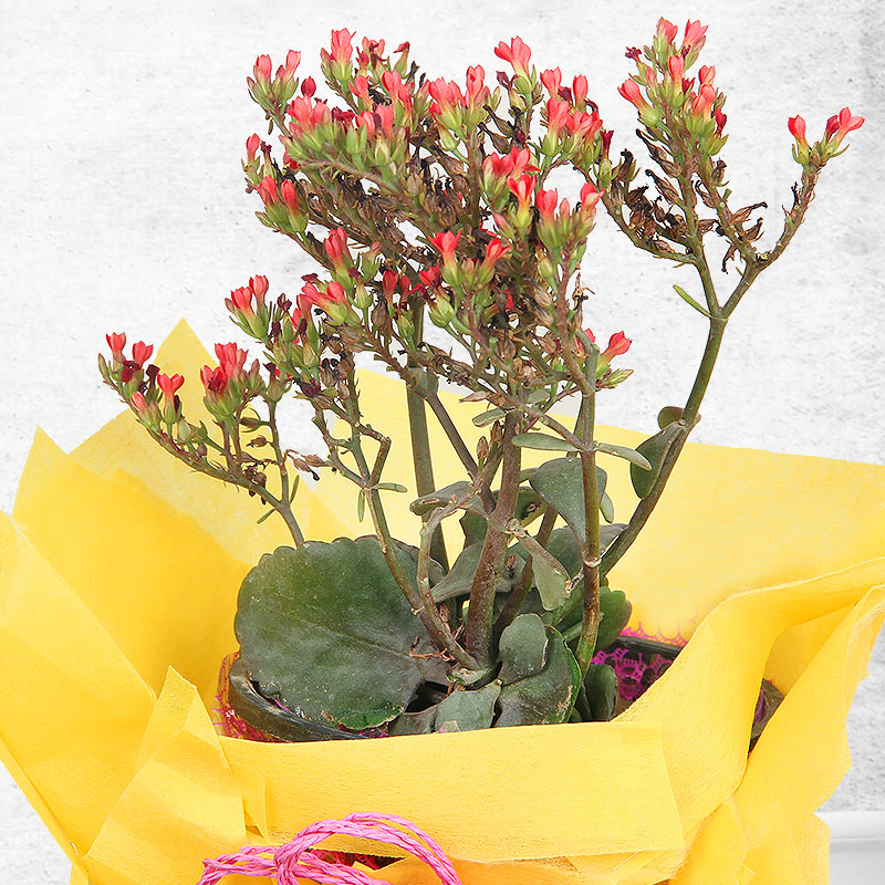 Zoomed view of Red Kalanchoe - A stressbuster plant