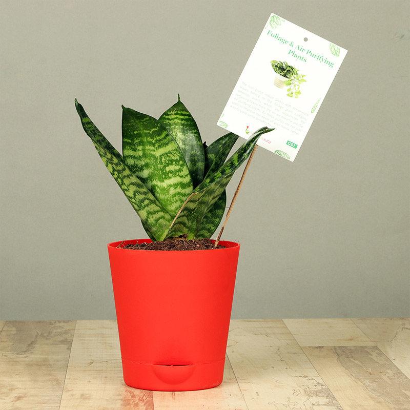 Red Vase Snake Plant