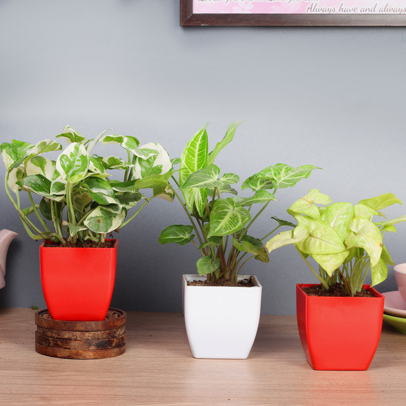 Refreshing Exotic Combo - Good Luck and Foliage Plant Indoor in Blossom Vases