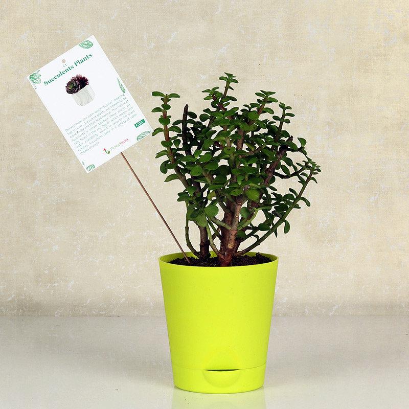 Refreshing Jade Plant
