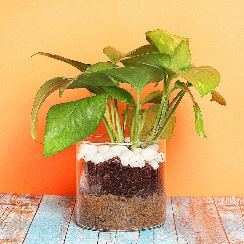 Money Plant Terrarium with White Pebbles