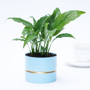 Refreshing Peace Lily
