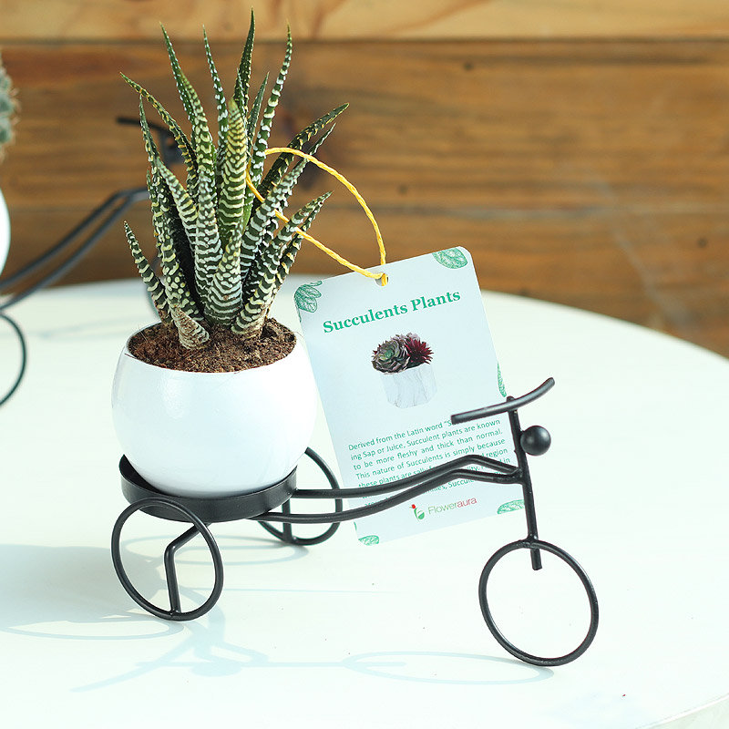 Riding Haworthia Plant Online - Succulent and Cactus Plant Indoors in Bicycle Vase