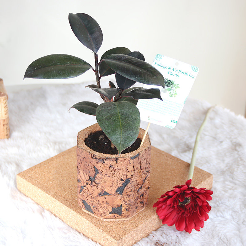 Rubber Cork Vase Plant: Air Purifying