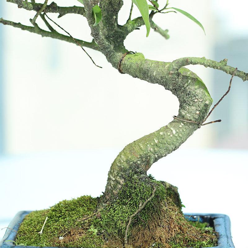 S Shape Ficus Bonsai