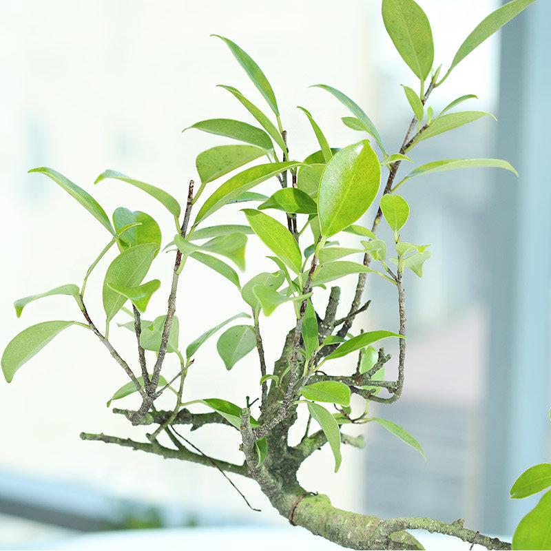 S Shape Ficus Bonsai - Bonsai Plant Outdoors