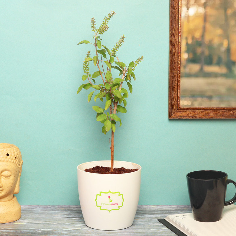 Tulsi Plant in White Vase