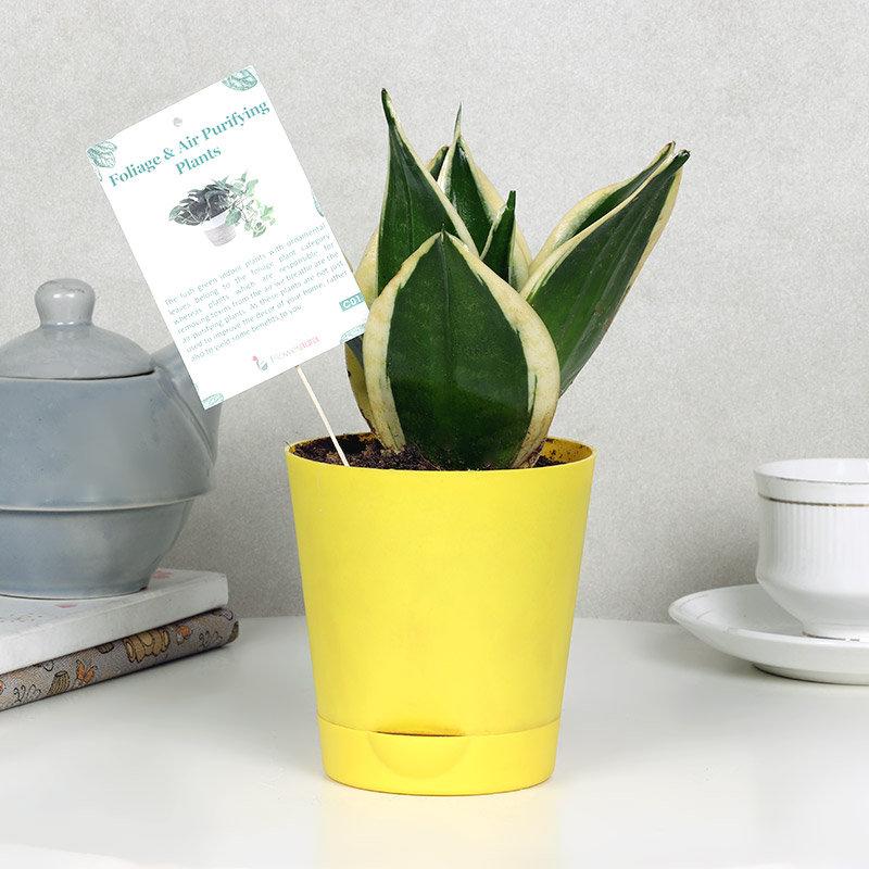 Sansevieria Plant Vase