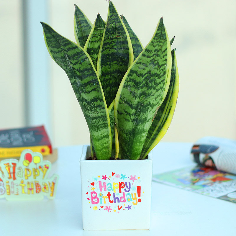 Sansevieria Snake Plant - Air Purifying Plant Indoors in Happy Birthday Vase